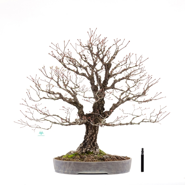 Acer palmatum arakawa - érable - 78 cm