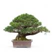 Pinus pentaphylla zuisho - Pino - 38 cm