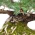 Pinus pentaphylla - 38 cm