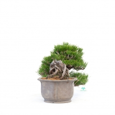 Pinus thunbergii - black pine - 22 cm