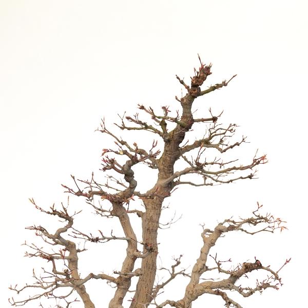 Acer palmatum viridis - érable - 77 cm