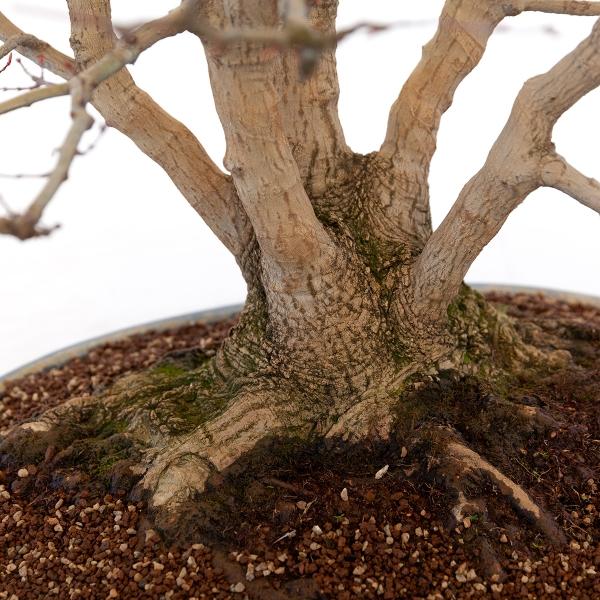 Acer palmatum viridis - acero - 77 cm