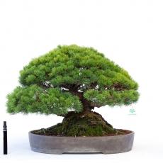 Pinus pentaphylla - white pine - 37 cm