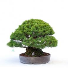 Pinus pentaphylla - pino bianco - 37 cm