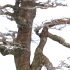 Celtis australis - Bagolaro - 83 cm