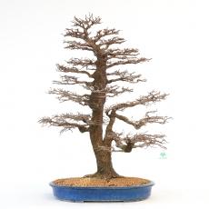 Celtis australis - Micocoulier - 76 cm
