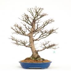 Acer palmatum viridis - acero - 83 cm