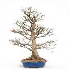Acer palmatum viridis - érable - 83 cm