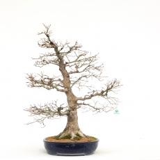 Acer palmatum viridis - érable - 79 cm