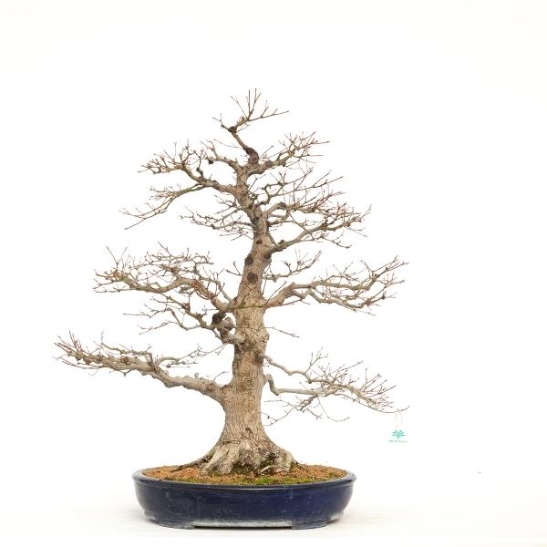Acer palmatum viridis - acero - 79 cm
