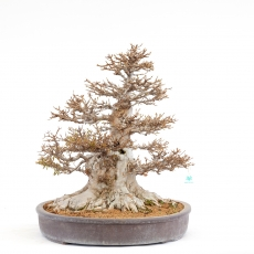 Acer buergerianum - érable - 63 cm