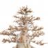 Acer buergerianum - acero - 63 cm
