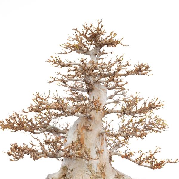 Acer buergerianum - maple - 63 cm