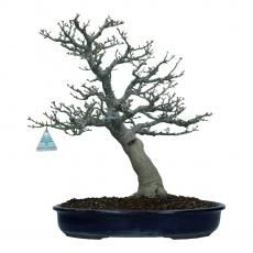 Acer palmatum shishigashira - érable - 43 cm