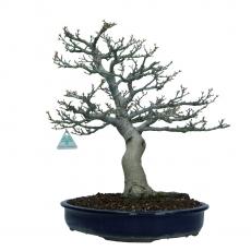 Acer palmatum shishigashira - maple - 43 cm