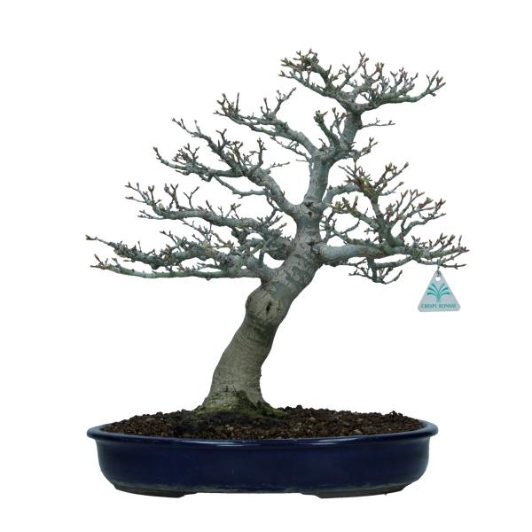Acer palmatum shishigashira - acero - 43 cm
