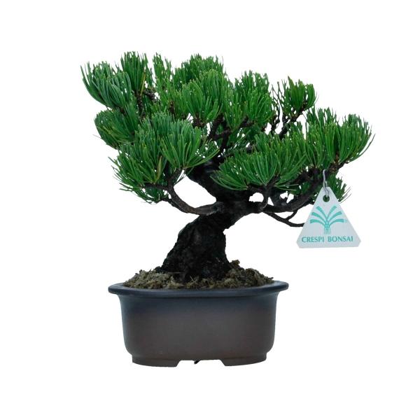 Pinus pentaphylla - 22 cm