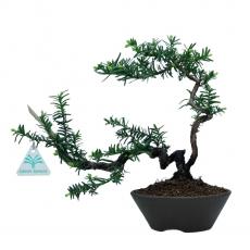 Taxus cuspidata - 26 cm