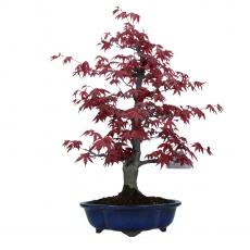 Acer palmatum Deshojo - érable - 36 cm