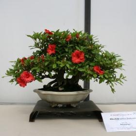 Azalea Satsuki 58