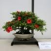 Azalée Satsuki 58 - 34 cm