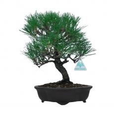 Pinus thunbergii - 36 cm