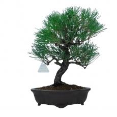 Pinus thunbergii - Pino nero - 36 cm