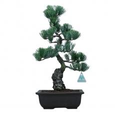 Pinus pentaphylla  - Pino a cinque aghi - 44 cm