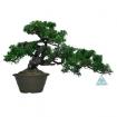 Juniperus chinensis - Ginepro - 28 cm