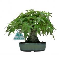 Acer palmatum Viridis - acero - 17 cm
