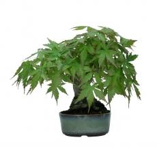 Acer palmatum Viridis- maple - 17 cm