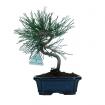 Pinus thunbergii - 26 cm