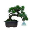 Pinus pentaphylla - Pino - 19 cm