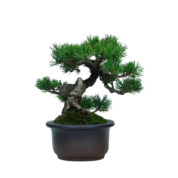 Pinus pentaphylla - Pine five needles - 19 cm