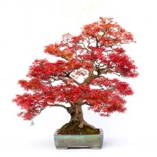 Acer palmatum saigen - maple - 87 cm