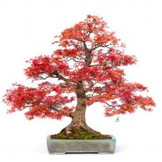 Acer palmatum saigen - acero - 87 cm