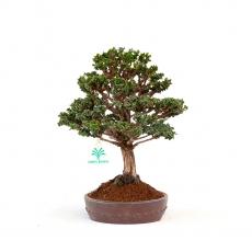 Chamaecyparis obtusa sekka - False Cypress - 23 cm