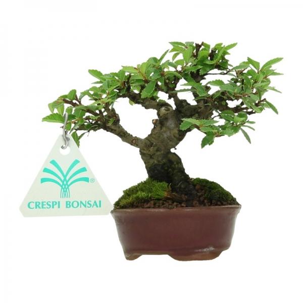 Ulmus parvifolia - 11 cm