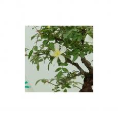 Rosa - 16 cm