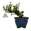 Ribes rubrum - 23 cm