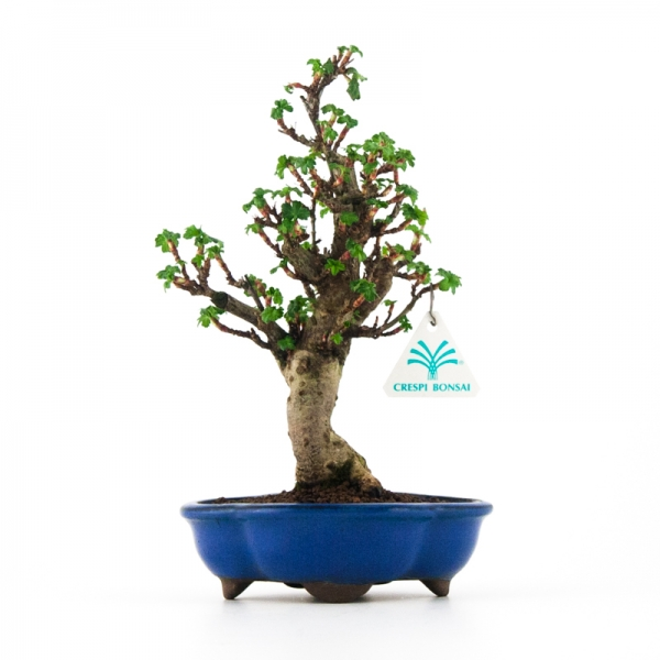 Ribes rubrum - 20 cm