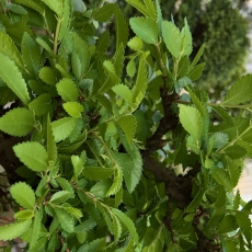 Ulmus parvifolia - Olmo - 29 cm