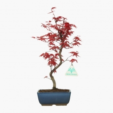 Acer palmatum Deshojo - érable - 35 cm