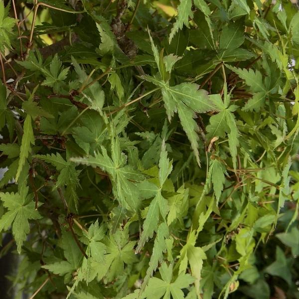 Acer palmatum - érable - 31 cm