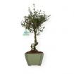 Serissa japonica - 35 cm
