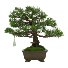 copy of Juniperus chinensis - Ginepro - 43 cm