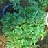 Potentilla fruticosa - 20 cm