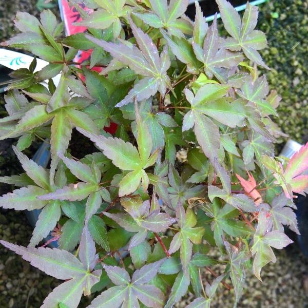 Acer palmatum -  acero - 11 cm
