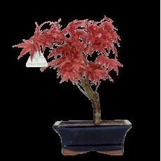 Acer palmatum Deshojo - érable - 28 cm