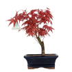 Acer palmatum Deshojo - acero - 28 cm